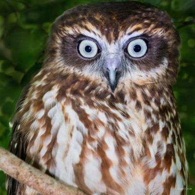 Boobook Owl c. David Clode (1)